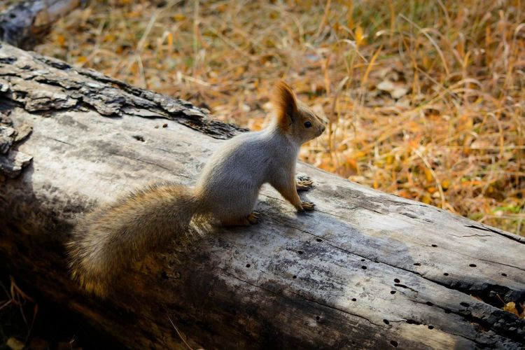 Animal Themes Animal Wildlife Animals In The Wild Autumn Close-up Day Fall Fall Colors Forest Irkutsk Nature No People One Animal Outdoors Squirrel Squirrel Closeup белка Иркутск осень The Great Outdoors - 2017 EyeEm Awards