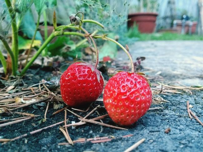 strawberries growing Strawberry Strawberries Red Bright Vibrant Color Insane Edible  Tasty Healthy Healthy Eating Growyourown Growyourownfood Gardening Gardenlife Home Homeandgarden LoveLife❤️ Lovely Heaven Eatme Strawberry Love Sugar Naturalsugar Fruit Red Close-up Food And Drink Growing Berry Fruit Plant Life