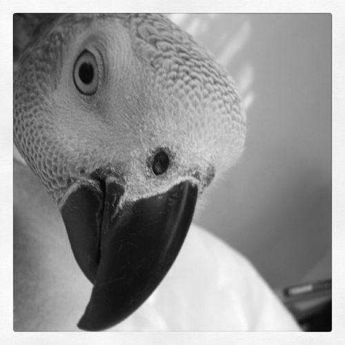 Sabahul Khair! Africangrey ParrotChatter Petlove  Parrot goodmorning