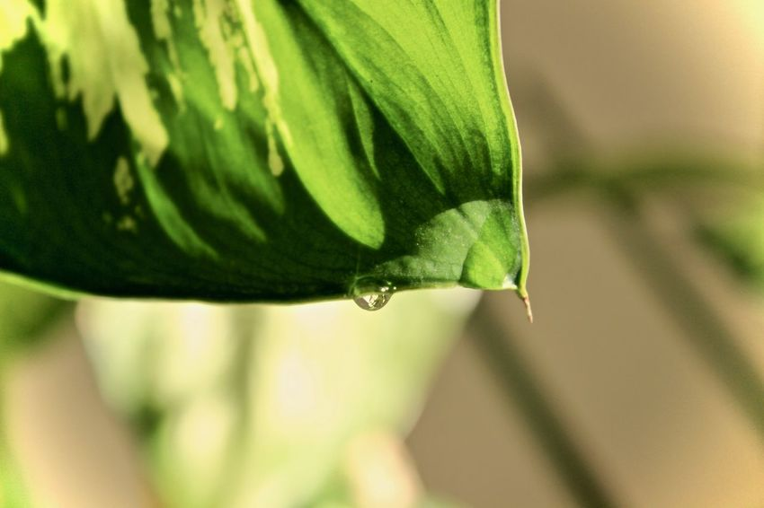 Animal Themes Animals In The Wild Beauty In Nature Close Up Leaf Close-up Day Dieffenbachia Drop Focus On Foreground Fragility Freshness Green Color Growth Leaf Nature No People One Animal Outdoors Plant Water Droplet Wet Leaf