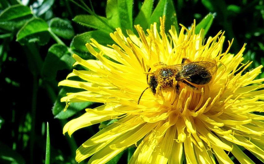 Animal Themes Animal Wildlife Animals In The Wild Beauty In Nature Bee Bee At Work Blooming Bumblebee Close-up Day Flower Flower Head Fragility Freshness Growth Honey Bee Insect Nature No People One Animal Outdoors Petal Plant Pollination Wildlife Yellow