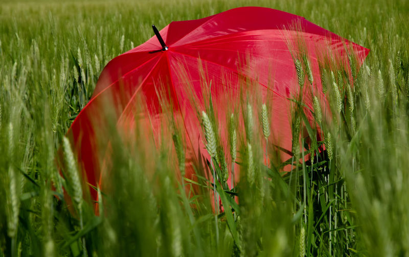 Red Umbrella in Wheat Field. Food And Drink Wheat Wheat Field Beauty In Nature Close-up Day Field Food Grass Green Color Growth Land Landscape Nature No People Outdoors Plant Protection Red Rural Scene Security Selective Focus Umbrella
