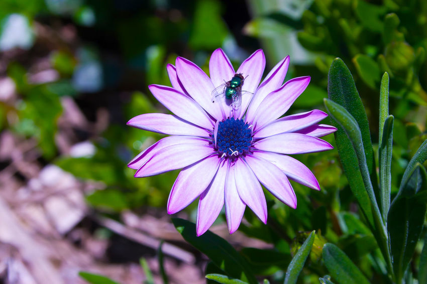 Flower & Fly! Beauty In Nature Blooming Close-up Day Flower Flower Head Fragility Freshness Growth Nature No People Outdoors Petal Plant Purple