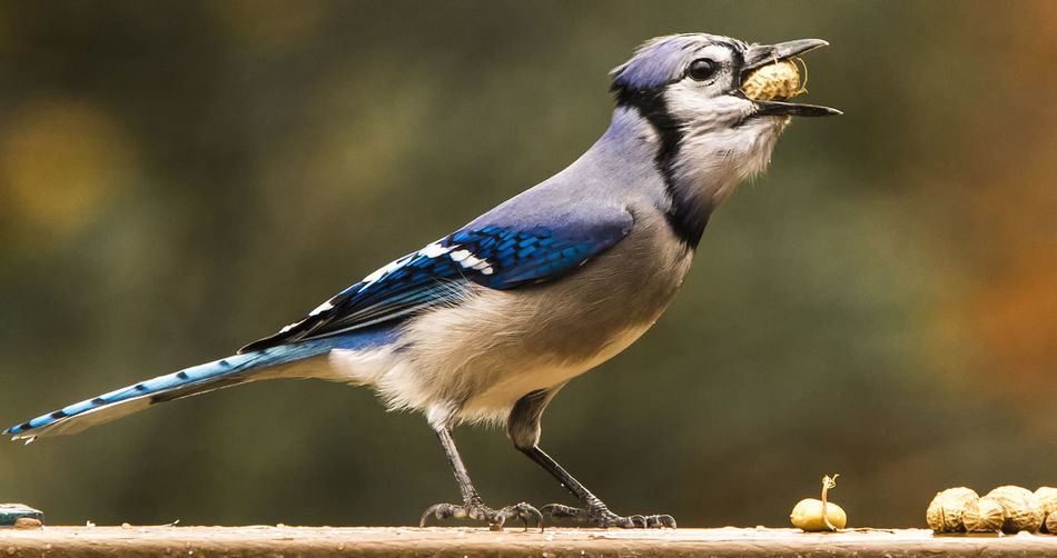 Close-up of blue jay eating peanuts