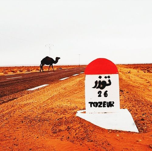 South tozeur Sud Camel Chameaux Trip Voyage Road On The Road Metropolis Sur La Route
