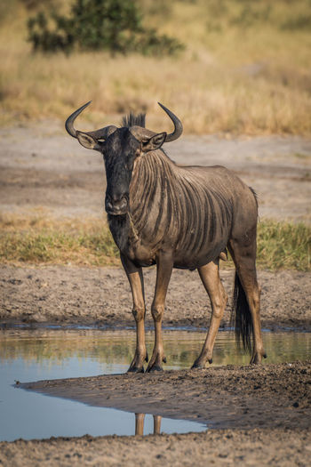 View of blue wildebeest at waterhole