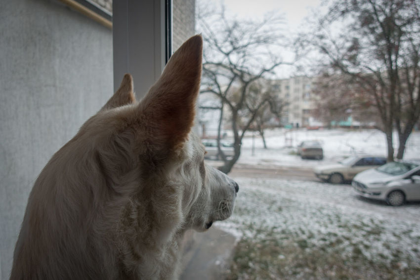 Big Ears Cold Temperature December Dog Dog Life Dog Looking Dog Looking Through A Window Dog Looks Out Dog's Theme Dogs Of EyeEm Dog❤ Favourite Dog Puppy Real Friend Sitting At Home Snow ❄ True Fidelity Waiting White Dog White Fur Window View Winter Winter Time Winter Time Cold ⛄ Wintertime