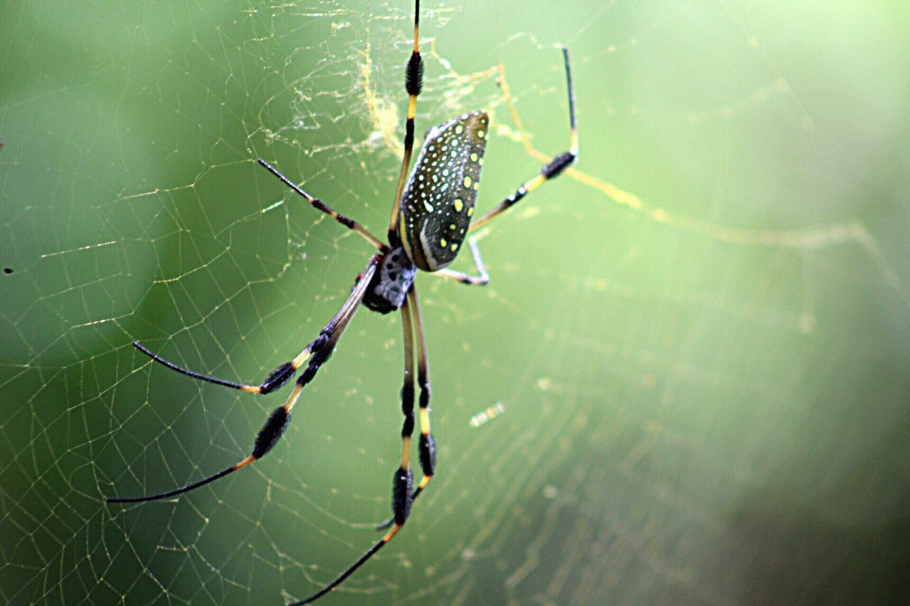 spider web, spider, web, survival, animal themes, one animal, focus on foreground, nature, insect, animals in the wild, close-up, outdoors, day, animal leg, no people, animal wildlife, fragility, beauty in nature