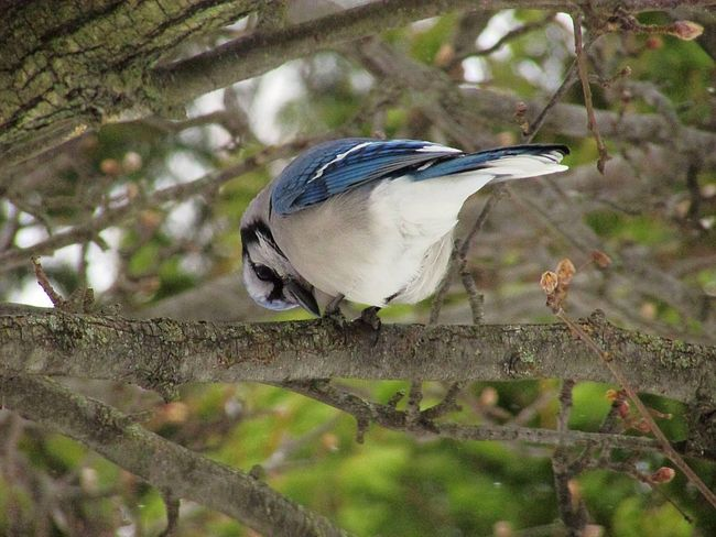 Bird Animal Themes Animals In The Wild Animal Wildlife One Animal Perching Tree No People Nature Outdoors Branch Close-up Day Beauty In Nature Bluejays Blue Jay Spring Springtime Branches