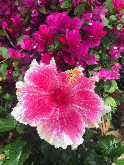 Fleurs#bougarvil