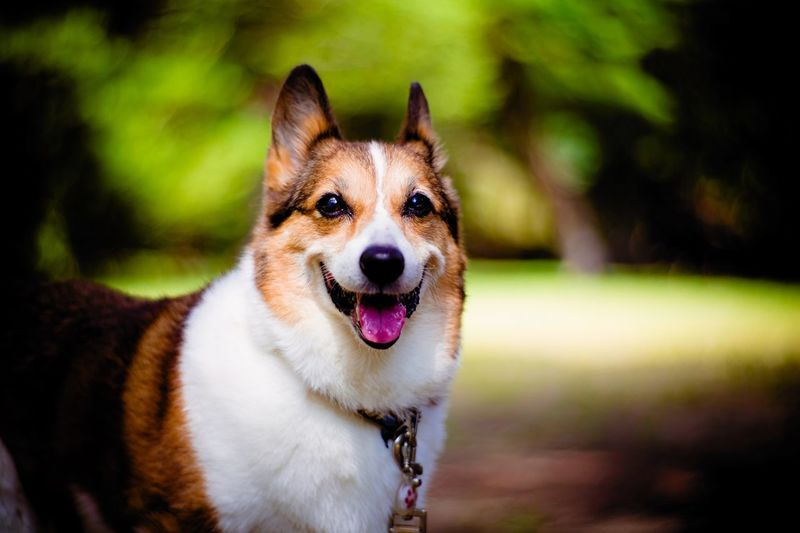 Bokeh Photography Bokeh Dog Portrait Portrait Dog Canine Pets One Animal Domestic Animals Domestic Animal Vertebrate Facial Expression Mammal Animal Themes Focus On Foreground Sticking Out Tongue Portrait Looking At Camera Pembroke Welsh Corgi No People Animal Body Part Mouth Open Collar