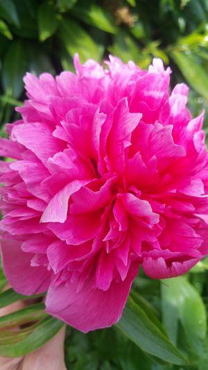 Flower Pink Color Beauty In Nature Outdoors Nature Flower Head Freshness Garden Flowers EyeEm Nature Lover Beauty In Nature Freshness 🌹🌞beauty