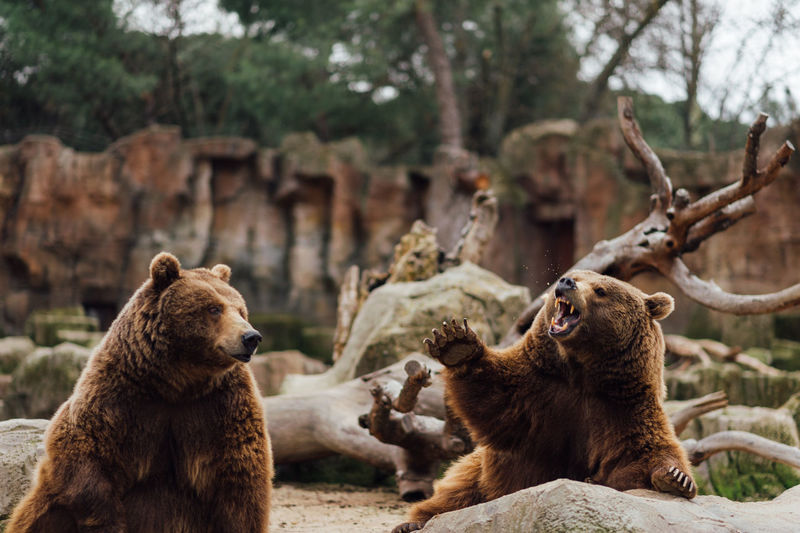 Two brown bears play in the zoo Animal Themes Animal Wildlife Animals In The Wild Bear Day Mammal Nature No People Outdoors Sitting Tree