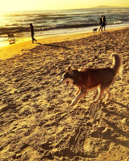 Hanging Out Taking Photos Hello World Enjoying Life Hi! Check This Out Relaxing Dog Animals Mammal Beach EyeEm Nature Photography Pet Light And Shadow Sillouette California Love USA Popular Photos EyeEm Gallery Ocean View Reflection Fun Syberianhuskey