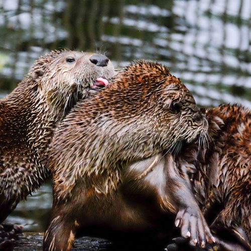 Otters Clean Washing