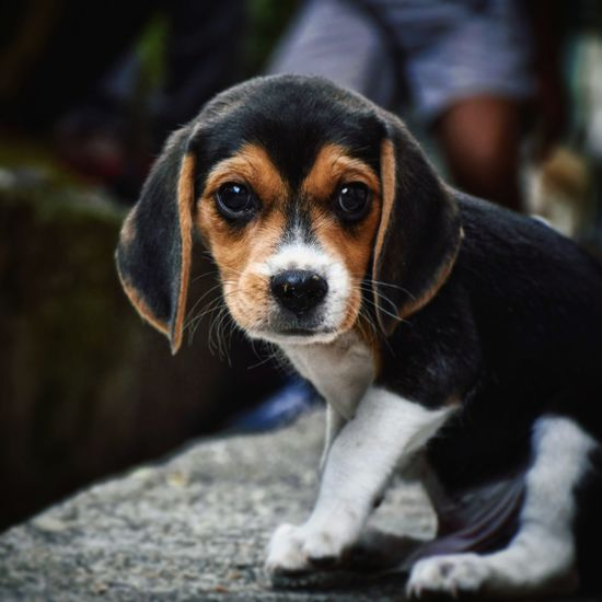 Cute dog EyeEm Selects Beagle Pets Portrait Dog Looking At Camera Sitting Close-up Pet Equipment Puppy Mixed-breed Dog Canine Pet Leash