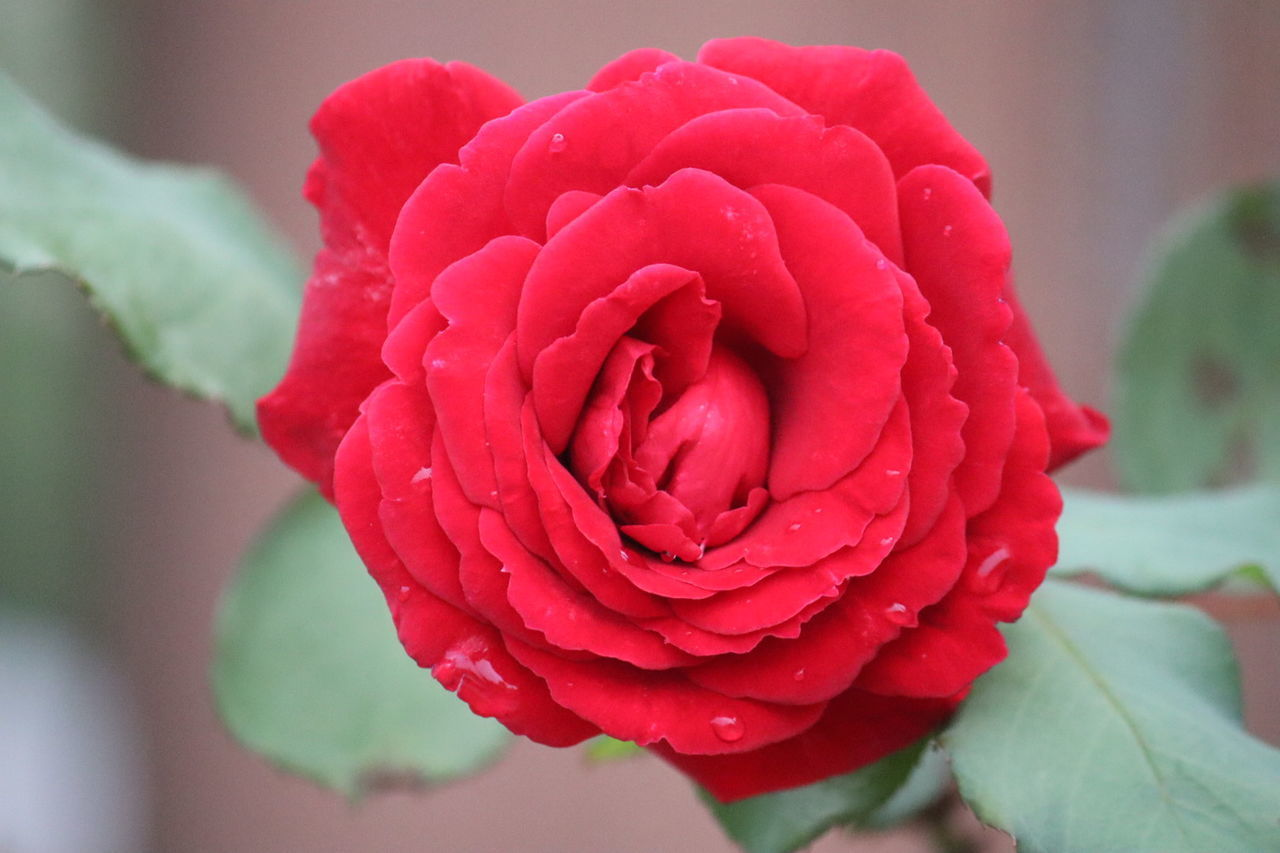 CLOSE-UP OF FRESH RED ROSE IN BLOOM