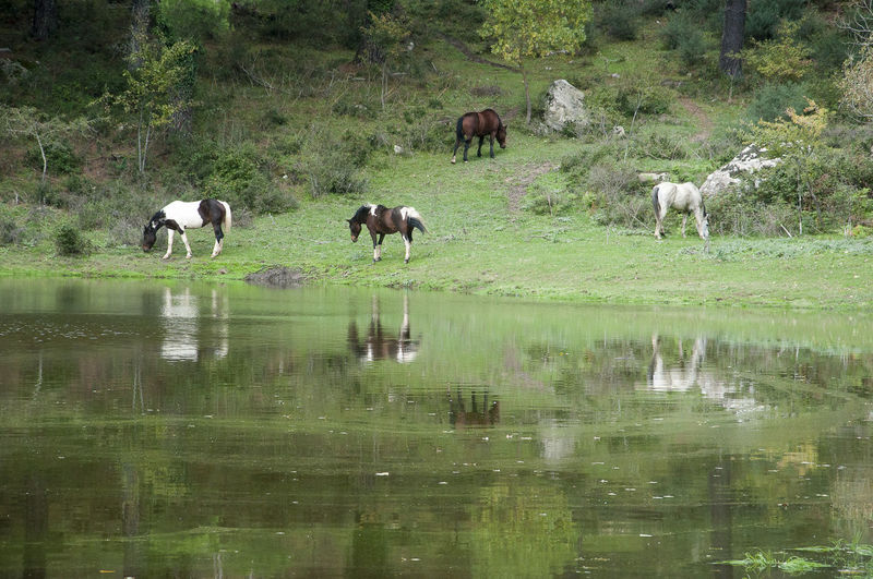 Horses On Grassy Field By Lake