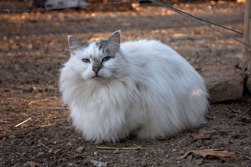 White long haired cat Cats Of EyeEm Animal Cat Curled Up Curled Up Cat Feline Laying Long Hair Cat Mammal White