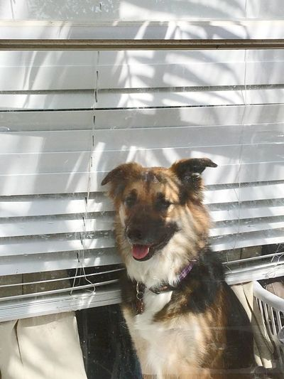 Oh, they're going out again! Loneliness Waiting For My Humans German Shepherd Dog Looking Out Window Waiting Anticipation One Animal Pets Domestic Mammal Domestic Animals Dog Canine Animal Themes No People Portrait Animal Day Nature Sunlight Looking