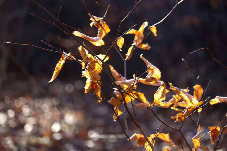 Close-up of autumn leaves on branch