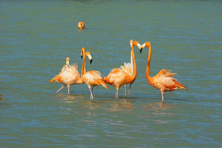 Flamingoes meet in a lagoon in Curaçao, Netherlands Antilles Animal Themes Animal Wildlife Animals In The Wild Beauty In Nature Bird Day Flamingo Flamingoes Flamingoes In Lagoon Lake Nature No People Outdoors Water Waterfront