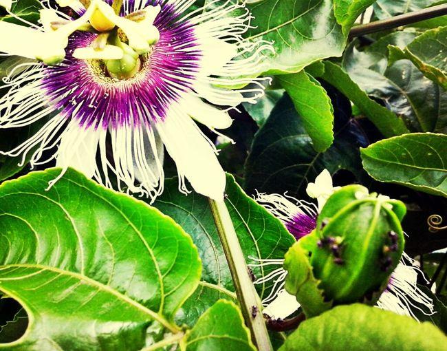Flower Green White Ants Purple Passion Fruit Markisa