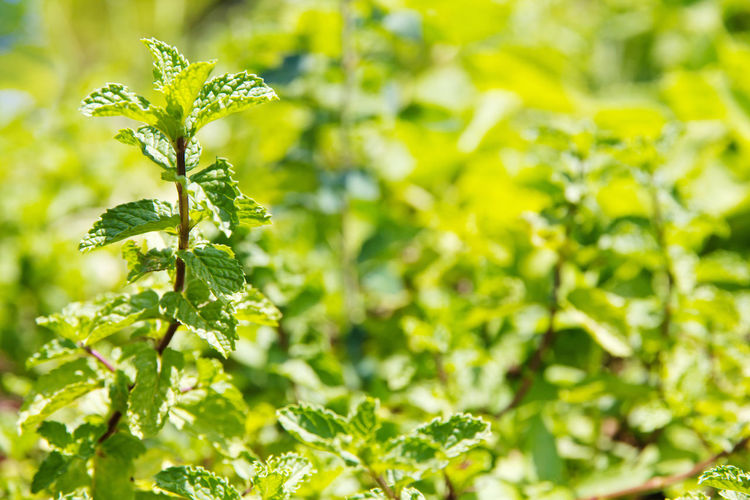 Fresh Marsh Mint plant Marsh Marsh Mint Mint Plant Agriculture Close-up Day Food Food And Drink Freshness Green Color Growth Healthy Eating Leaf Nature No People Outdoors Plant Vegetable