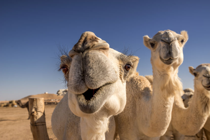 Camel Kiss Riyadh Saudi Arabia Animals Desert