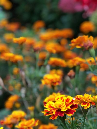 Orange Flower Flower Growth Beauty In Nature Flower Head Orange Color Blooming Outdoors Focus On Foreground Yellow Close-up Plant