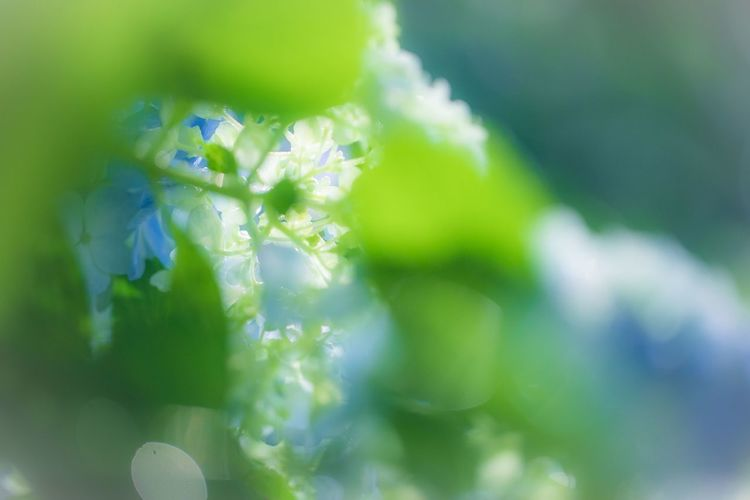 覗き込むあじさいの世界。 Beauty In Nature Plant Growth Flower Flowering Plant Close-up Vulnerability  No People Freshness Fragility Selective Focus Nature Green Color Day Petal Inflorescence Flower Head Outdoors Tranquility Full Frame