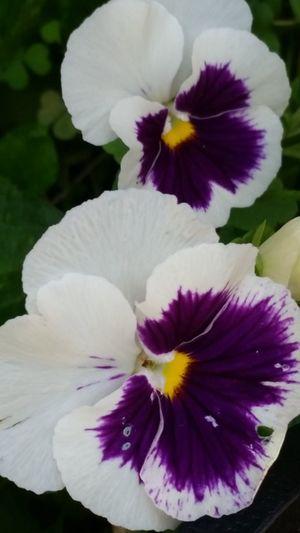white and purple popy Popy
