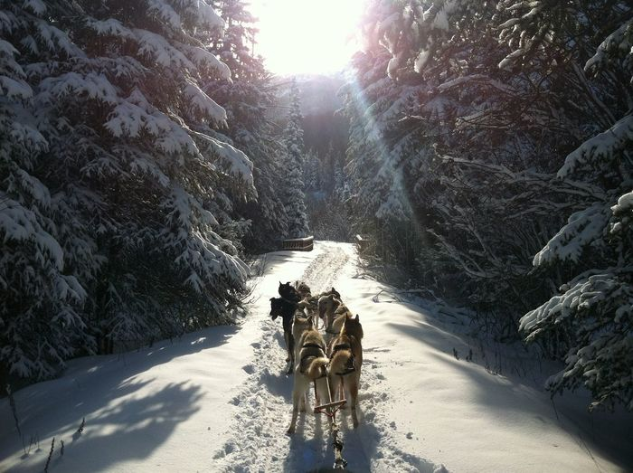 Dogs On Snow Covered Landscape With Trees During Winter