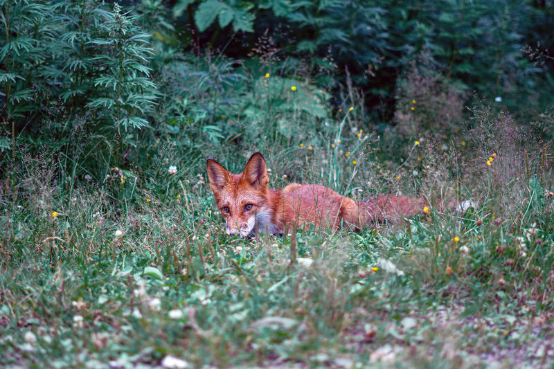 Portrait of a fox in a forest