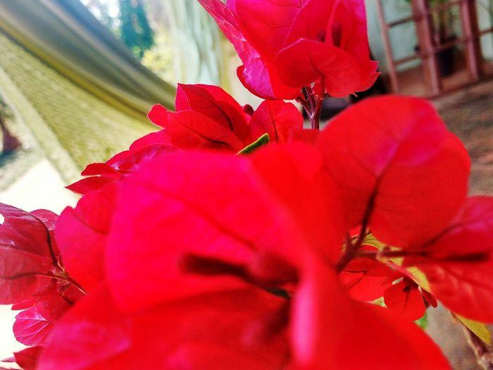 Nice Flower Head Flower Red Petal Close-up Hibiscus Stamen In Bloom Poppy Single Rose Leaf Vein Blooming Pollen Plant Life Growing Coneflower Osteospermum Gazania Fragility Cosmos Flower Blossom Zinnia  Botany Daisy Botany Crocus Bud Apple Blossom Eastern Purple Coneflower Cherry Blossom