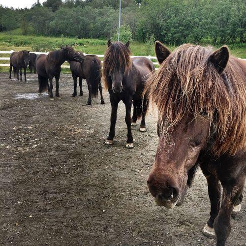 Identical Horses Brown Horses Icelandic Horses Horse Livestock