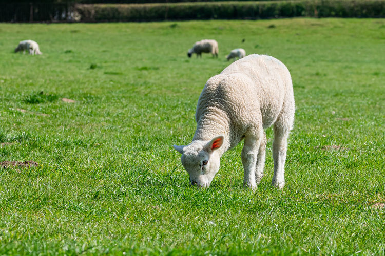 Lamb eating grass in a meadow
