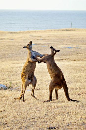 Full length of kangaroos fighting on sand