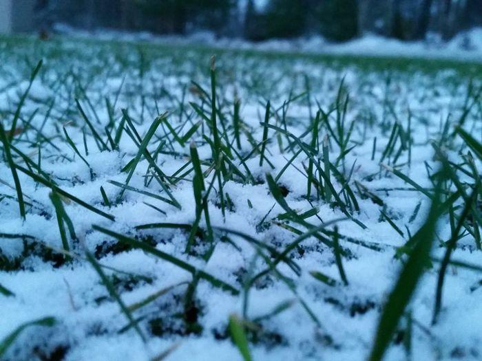 Close-up Closeup Early Snowfall Grass Nature Outdoors Snow Winter