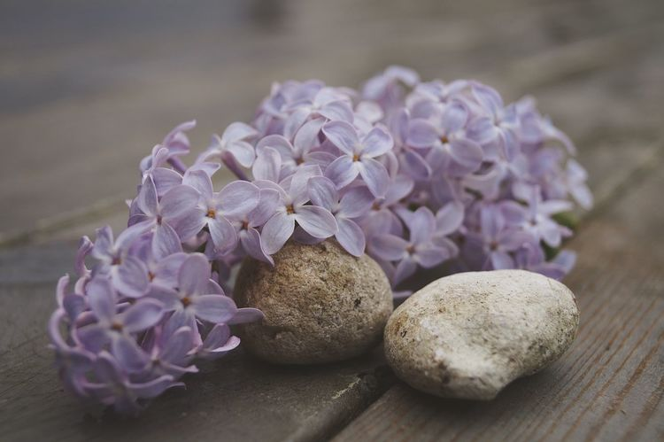 Purple spring Lilac Syringa EyeEm Selects Purple Freshness Wood - Material Flower Close-up Vegetable No People Day Nature Flower Head Fragility Beauty In Nature EyeEmNewHere