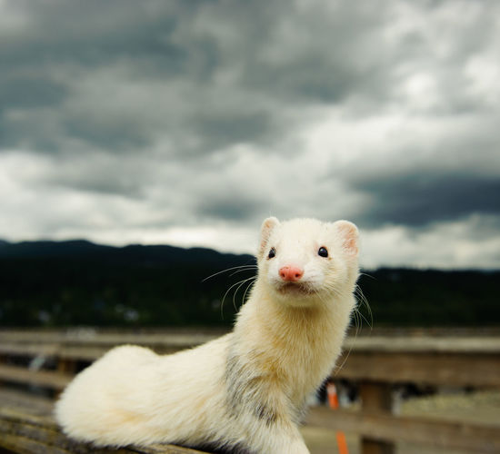 Close-up of weasel against cloudy sky