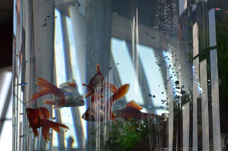 金魚 Goldfishes Goldfish In Water Reflections Glass Reflection Lines And Shapes Lines Multiple Layers Learn & Shoot: Layering Relaxing Relaxing Time From My Point Of View Capture The Moment EyeEm Nature Lover EyeEm Best Shots