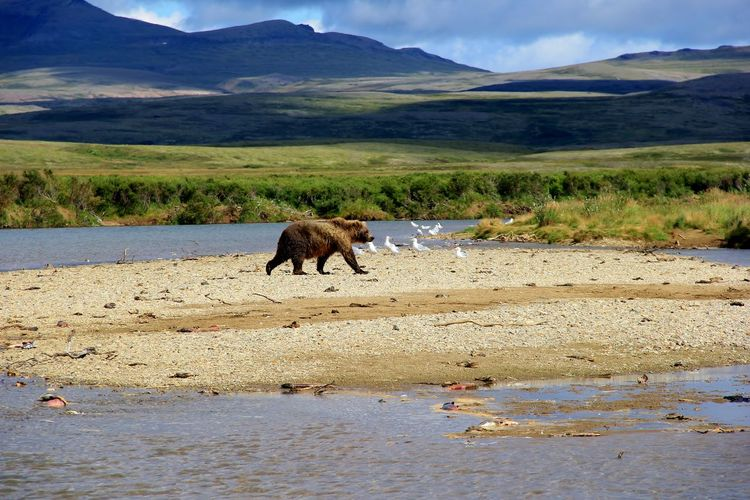 Bears and the salmon feast Bears Bears In Wild Alaska Wildlife & Nature Alaska Hunting Nature Outdoors Wildlife