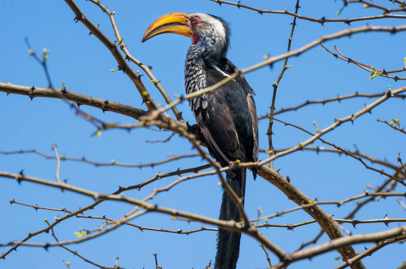 Low angle view of yellow-billed hornbill perching on bare tree against clear sky