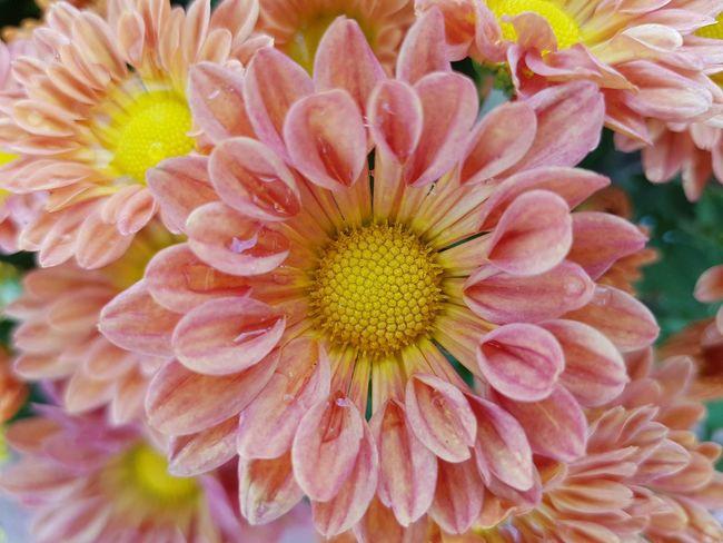 Close up chrysanthemum flower. Chrysanthemum Fresh Tropical Growth EyeEm Selects Flower Head Flower Petal Pink Color Pollen Close-up Blooming Plant