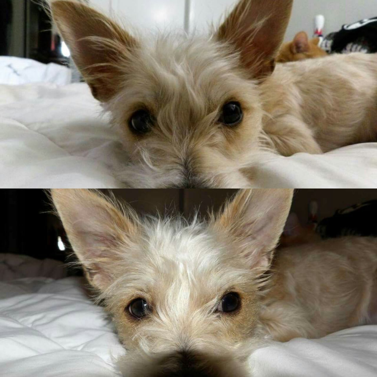 pets, looking at camera, dog, domestic animals, mammal, one animal, animal themes, portrait, bed, indoors, home interior, relaxation, cute, close-up, no people, west highland white terrier, bedroom, day