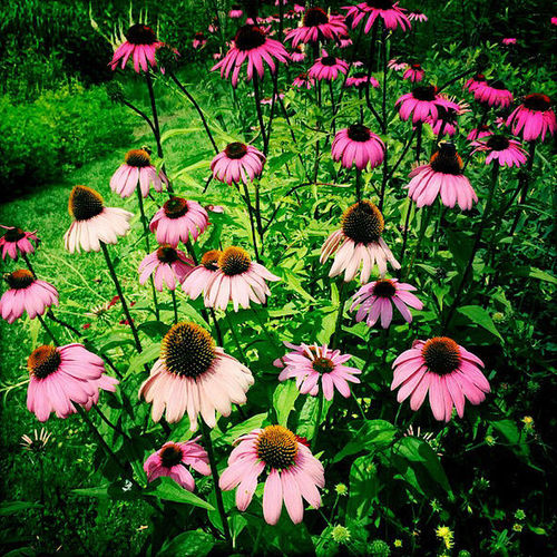 Like my Fan page - http://bit.ly/Briangoodwinstudio For purchase - http://bit.ly/1IkIYmB Flowers Black-eyed Susans Spring Flowers Outdoors Nature For Sale Filter