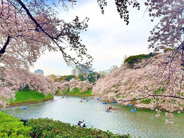 千鳥ヶ淵 桜 Tokyo Japan Cherry Blossoms