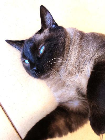 Blue eyes!! Cat