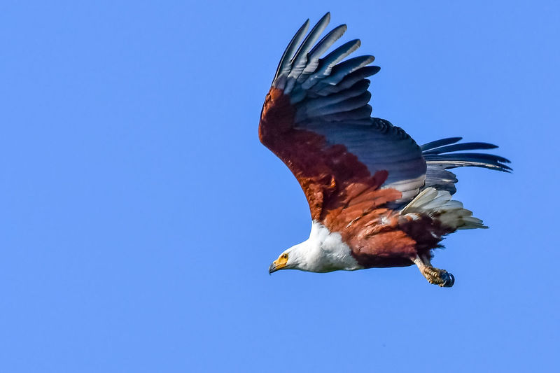 African Fish Eagle in flight Birds Of Africa Eagle EyeEm Birds EyeEm Nature Lover African Fish Eagle Animal Animal Themes Animal Wildlife Animals In The Wild Clear Sky Day Fish Eagle Flapping Flying Low Angle View Mid-air Motion Nature No People Outdoors Spread Wings